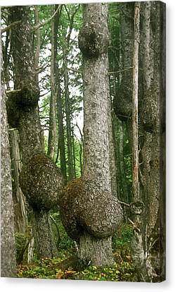 Sitka Spruce Burls On The Olympic Coast Olympic National Park Wa Canvas Print by Christine Till