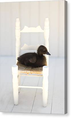 Sitting Duck Canvas Print by Amy Tyler