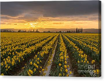 Skagit Valley Daffodils At Dusk Canvas Print by Mike Reid