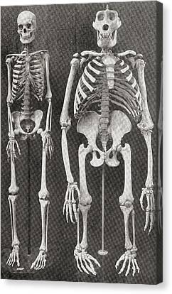 Skeletons Of Man, Left, And Gorilla Canvas Print by Vintage Design Pics