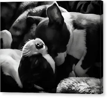 Sleeping Beauties - Boston Terriers Canvas Print by Jordan Blackstone