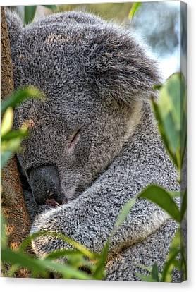 Sleeping Koala - Canberra - Australia Canvas Print by Steven Ralser
