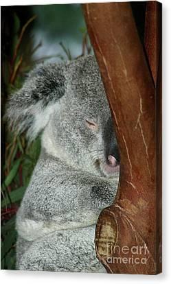 Sleeping Koala Canvas Print by Mariola Bitner