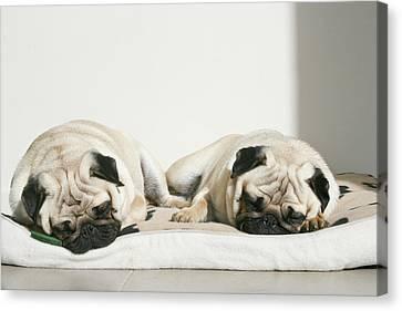 Sleeping Pug Dogs Canvas Print by Elli Luca