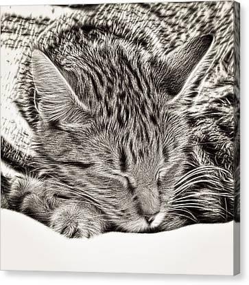 Sleeping Tabby Canvas Print by Tom Gowanlock