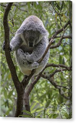 Sleepy Koala Canvas Print by Avalon Fine Art Photography