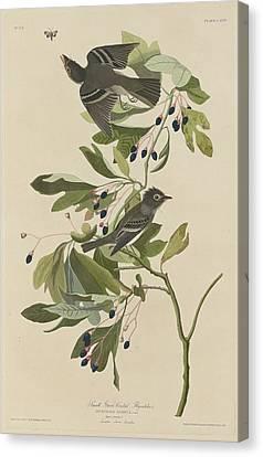 Small Green-crested Flycatcher Canvas Print by John James Audubon