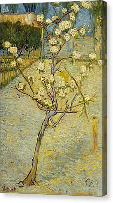 Small Pear Tree In Blossom Canvas Print by Vincent van Gogh
