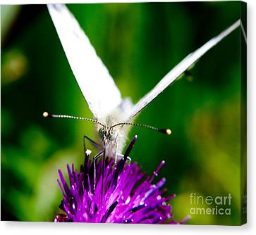 Small  White Cabbage Butterfly Pieris Rapae Canvas Print by Chris Smith
