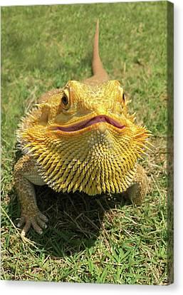 Smiling Bearded Dragon  Canvas Print by Susan Leggett