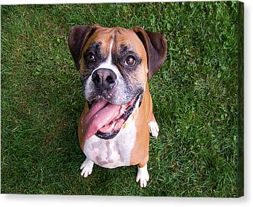 Smiling Boxer Dog Canvas Print by Stephanie McDowell