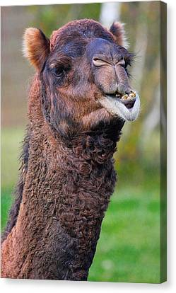 Smiling Camel Canvas Print by Naman Imagery