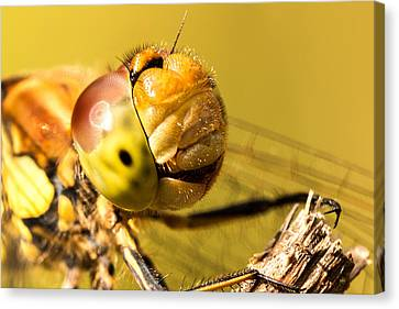 Smiling Dragonfly Canvas Print by Ian Hufton