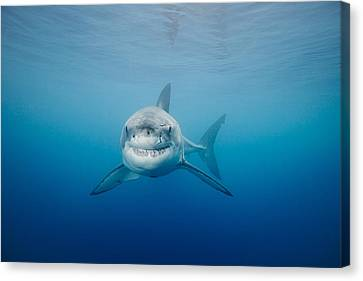 Smiling Great White Shark Canvas Print by Dave Fleetham - Printscapes