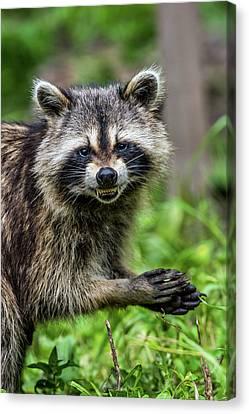 Smiling Raccoon Canvas Print by Paul Freidlund