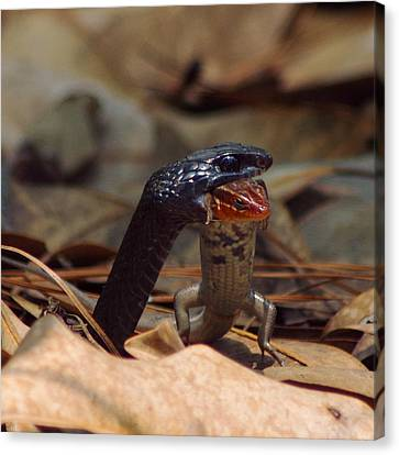 Snake With Meal Canvas Print by Aaron Rushin