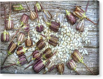 Snakes Head Fritillary Seeds Canvas Print by Tim Gainey
