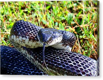 Snakey Lick Canvas Print by Kathryn Meyer