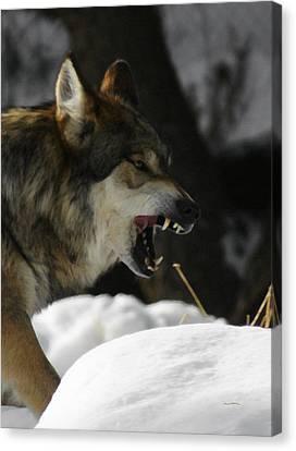 Snarling Wolf Canvas Print by Ernie Echols