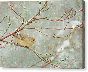 Snow Finch Canvas Print by Angie Vogel