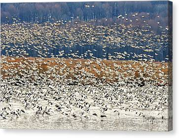 Snow Geese At Willow Point Canvas Print by Lois Bryan