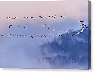 Snow Geese Canvas Print by Austin Li