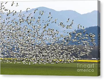 Snow Geese Exodus Canvas Print by Mike Dawson