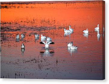 Snow Geese On Water Canvas Print by Panoramic Images