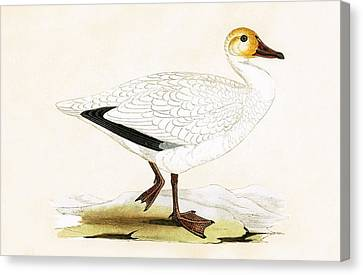 Snow Goose Canvas Print by English School