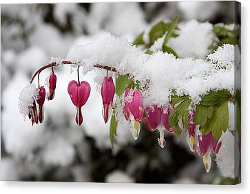 Snow Heart Canvas Print by Terry Walters