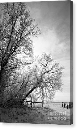 Snow Lace Canvas Print by Julie Lueders