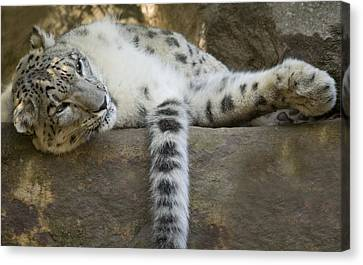 Snow Leopard Nap Canvas Print by Mike  Dawson