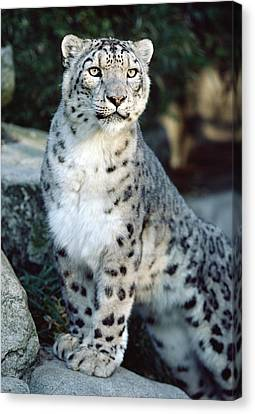 Snow Leopard Uncia Uncia Portrait Canvas Print by Gerry Ellis