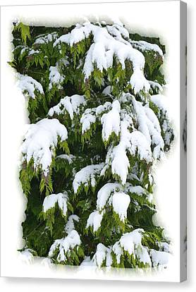 Snowy Cedar Boughs Canvas Print by Will Borden
