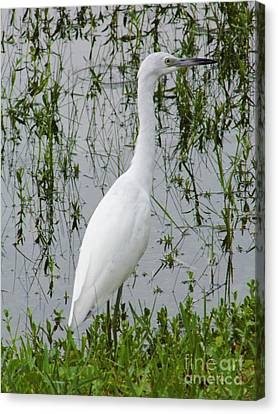 Immature Little Blue Heron On The Lookout Canvas Print by D Hackett