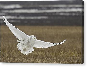 Snowy Owl In Flight Canvas Print by Michaela Sagatova