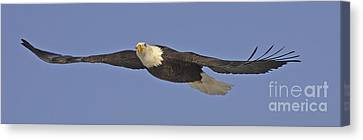 Soaring Bald Eagle Canvas Print by Tim Grams