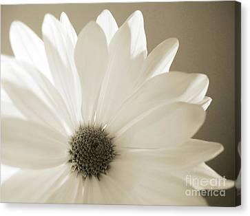 Soft Daisy Canvas Print by Kelly Holm