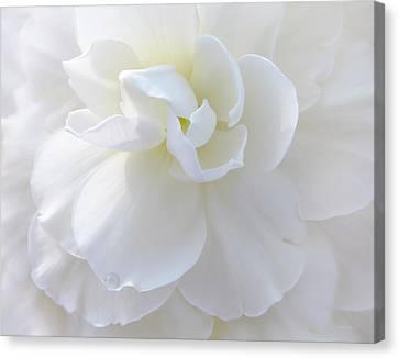 Soft Ivory Begonia Flower Canvas Print by Jennie Marie Schell