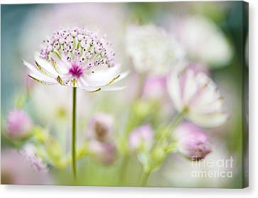 Soft On Astrantia Canvas Print by Jacky Parker