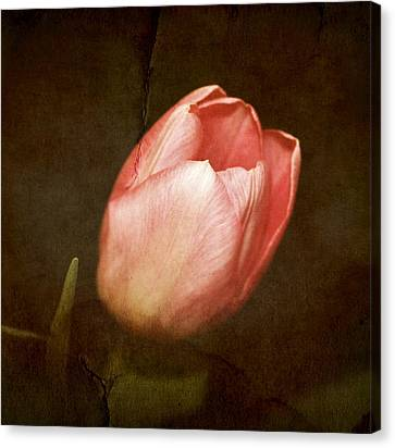 Soft Pink Tulip Canvas Print by Cathie Tyler