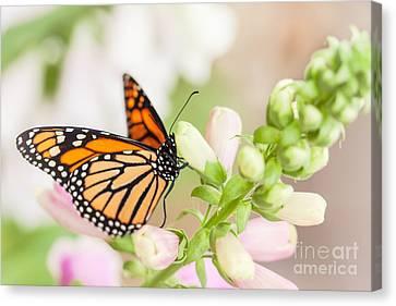 Soft Spring Butterfly Canvas Print by Ana V Ramirez