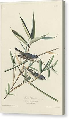 Solitary Flycatcher Canvas Print by John James Audubon
