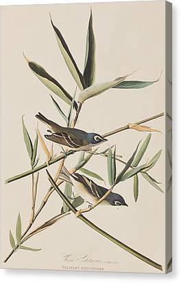 Solitary Flycatcher Or Vireo Canvas Print by John James Audubon
