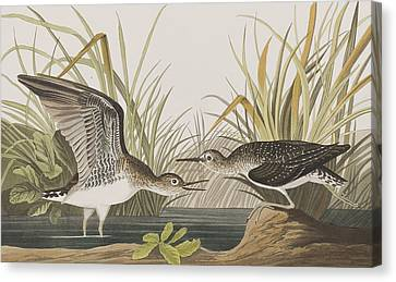 Solitary Sandpiper Canvas Print by John James Audubon