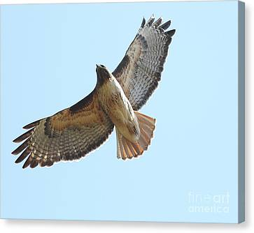 Somewhere In The Sky A Red Tailed Hawk Soars Canvas Print by Wingsdomain Art and Photography