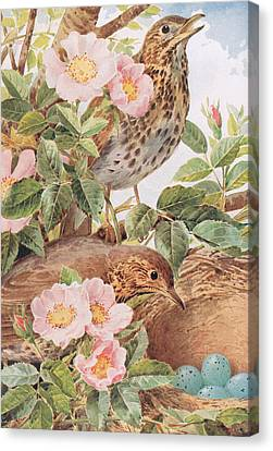 Song Thrushes With Nest Canvas Print by Louis Fairfax Muckley