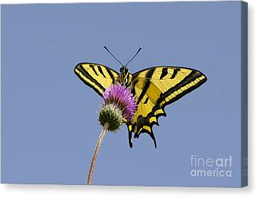 Southern Swallowtail Butterfly Canvas Print by Steen Drozd Lund