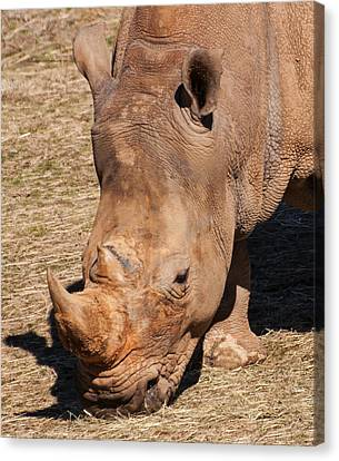 Southern White Rhino Canvas Print by Chris Flees