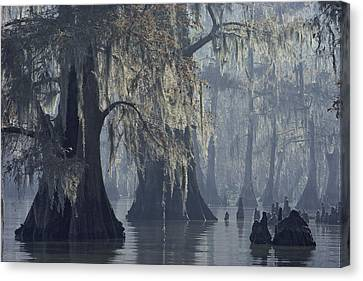 Spanish Moss Drapes Old Cypress Trees Canvas Print by John Eastcott And Yva Momatiuk